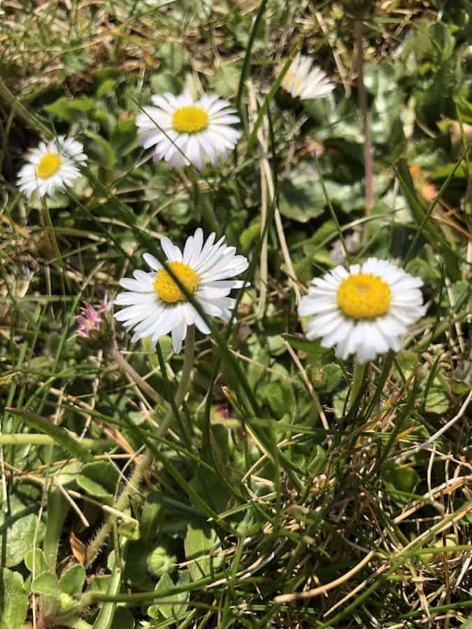 Gänseblümchen - Wildkräuter - Heilkräuter