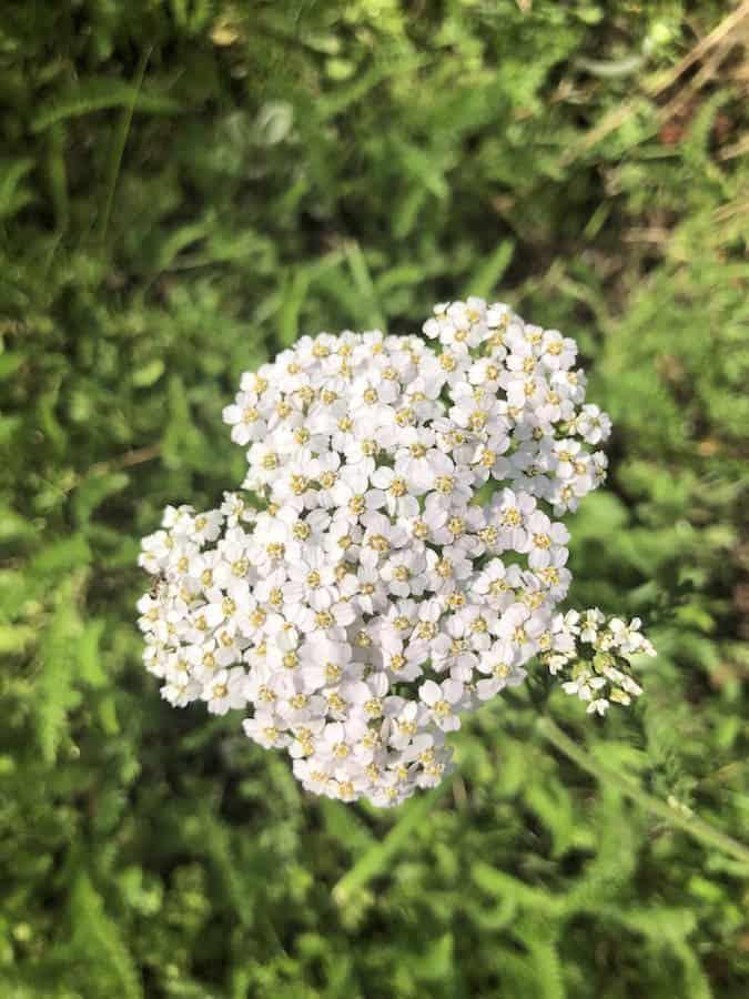 Schafgarbe Blüte - Wildkräuter - Heilkräuter